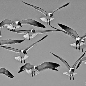 Terns BW