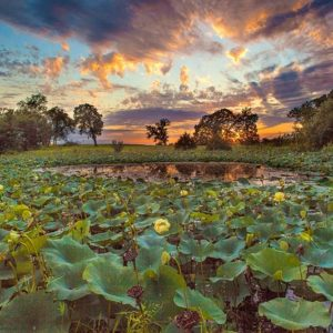 Lotus Pond Sunset