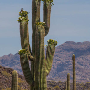 Saguaro Blossom Wren