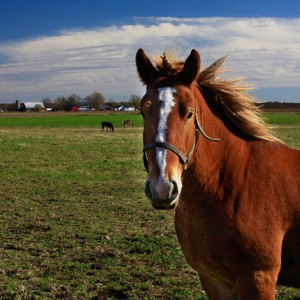Amish Draft Horse