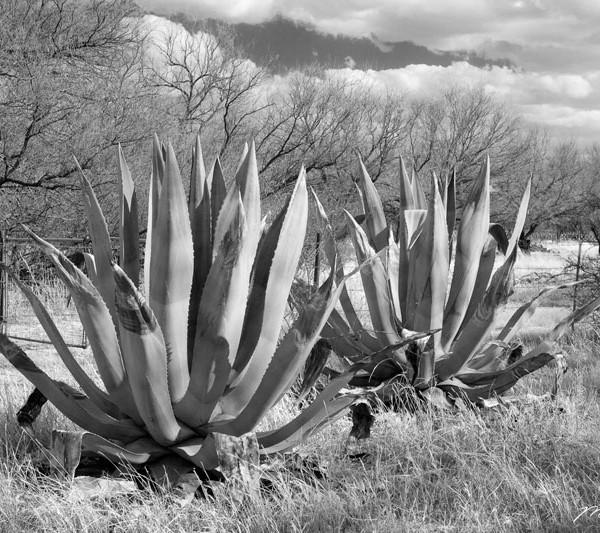 Arivaca Aloe