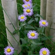 Asters In Aspen