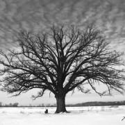 Burr Oak In Winter