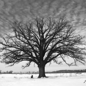 Burr Oak In Winter
