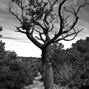 Chiricahua Dancing Tree