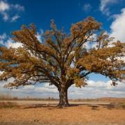 Golden Burr Oak