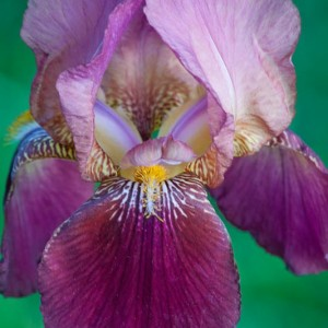 Grandma's Iris