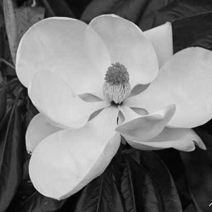 Magnolia of Magnolia