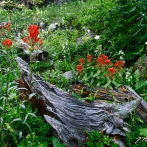 Indian Paintbrush And Deadwood