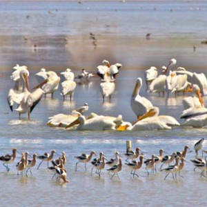 Pelicans Of Laguna Madre