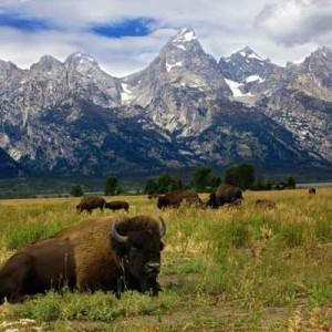 Grand Teton Bull