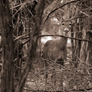 Thru The Thicket Sepia