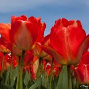 Tulip Jubilee