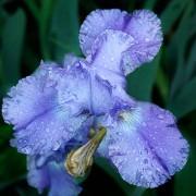 Weeping Iris