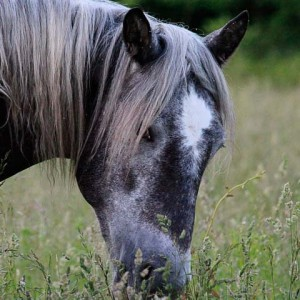 Ozark Stallion