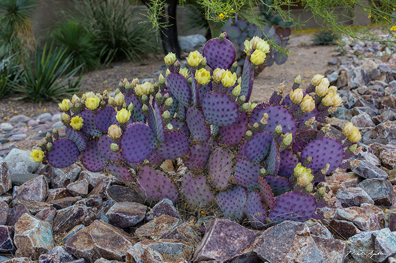purple prickly pear martin spilker photography