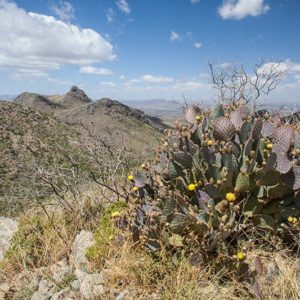 Mount Hopkins Prickly Pear Bloom