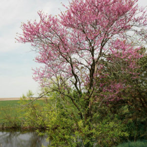 Redbud On Pond