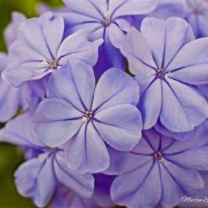 Village Lavender
