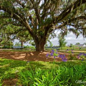Buena Vista Oak