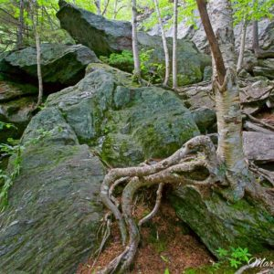 Smugglers Notch Roots & Rocks