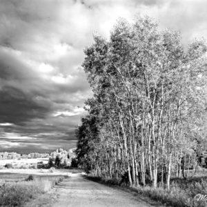 Long Pond Birch-1