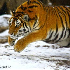 Tiger Pounce