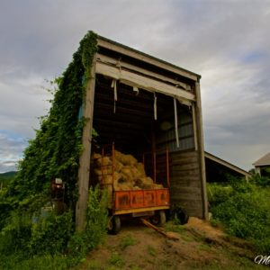 Vermont Vine Covered Shed