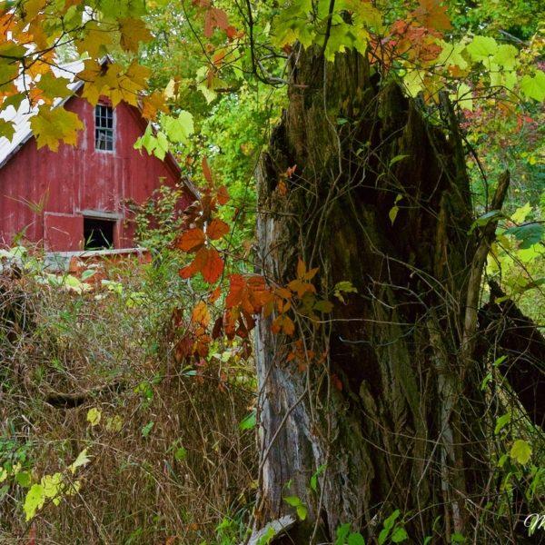 Vermont Autumn Stump I