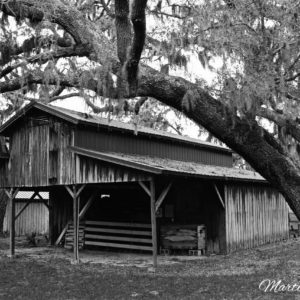 Florida Barn Under Oaks