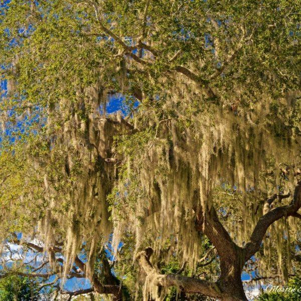 Spanish Moss Overhang