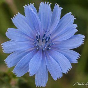 Chicory Blue