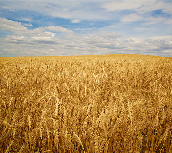Amber Waves Of Wheat