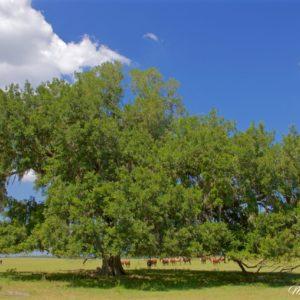 Florida Live Oak Pasture