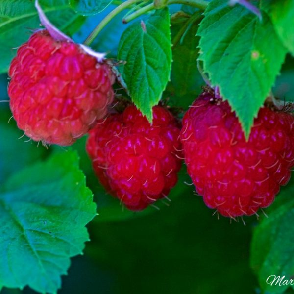 Raspberry Triplet