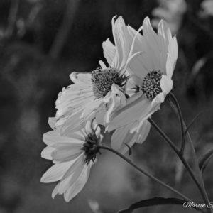 September Daisies BW