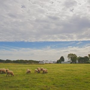 Christine Crossing Sheep 1x2