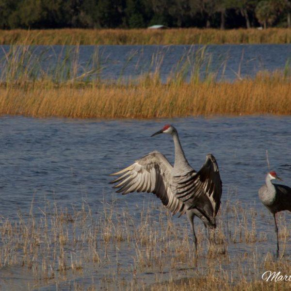 Sandhill Crane Pair On Silver Lake