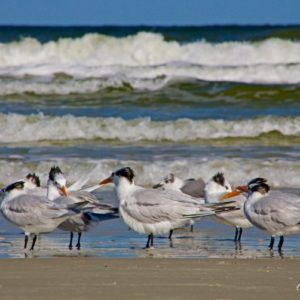 New Smyrna Beach Terns & Sand Piper