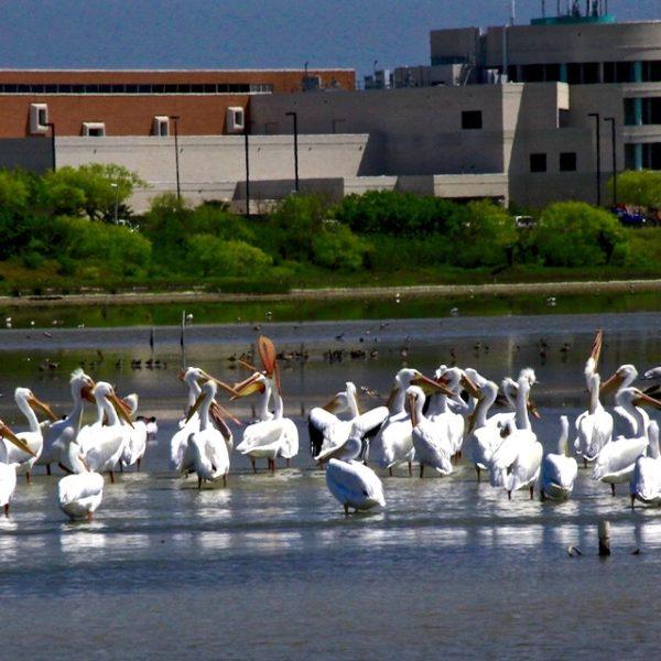 Corpus Christi Urban Pelicans