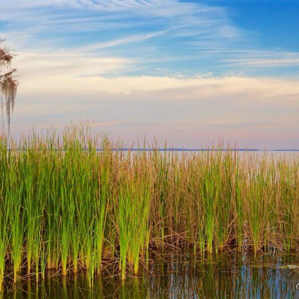 Lake Harris Saw Grass And Moss