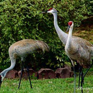 Sandhill Cranes Three