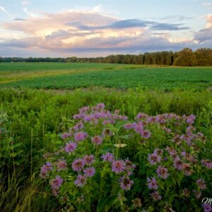 Bee Balm Beanfield Sunset