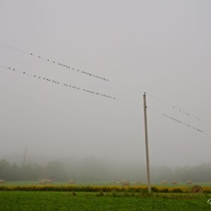 Fog Birds On The Wire