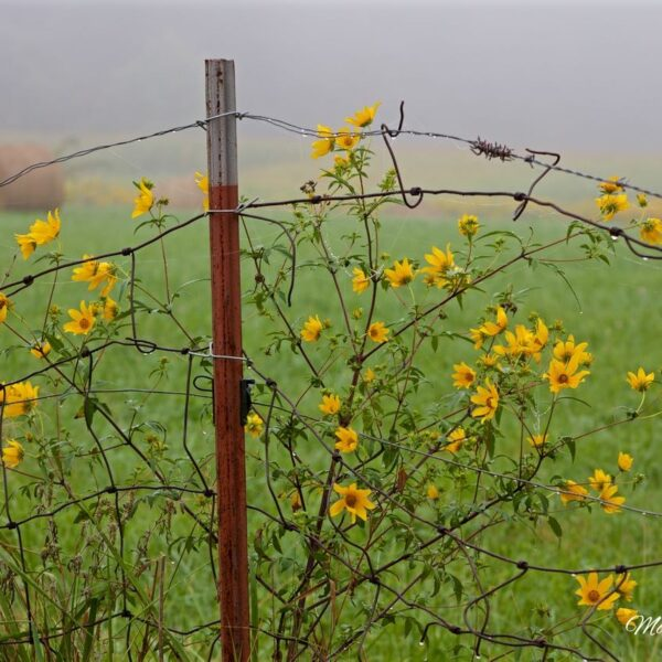 Fog Flowers And Wire