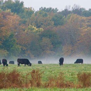 Autumn Angus Mist