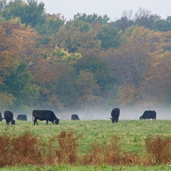 Autumn Angus Mist