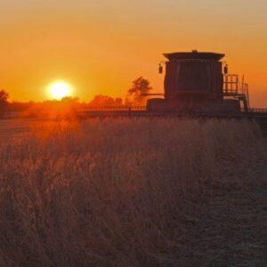 Bean Harvest Sunset