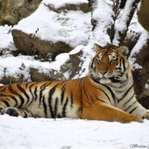 Tiger Pose II
