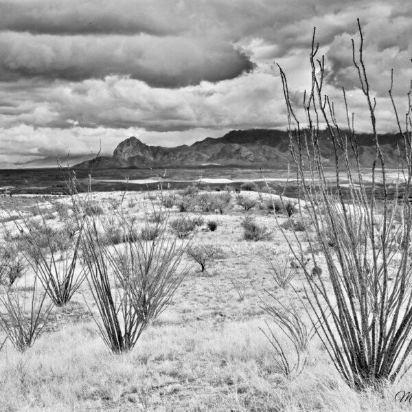 Winter Sonoran Ocotillo BW